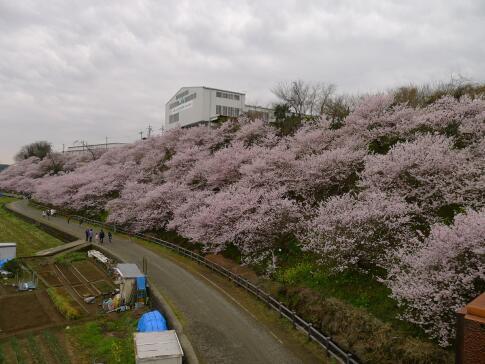 一の堰ハラネの春めき桜2.jpg
