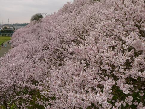 一の堰ハラネの春めき桜3.jpg