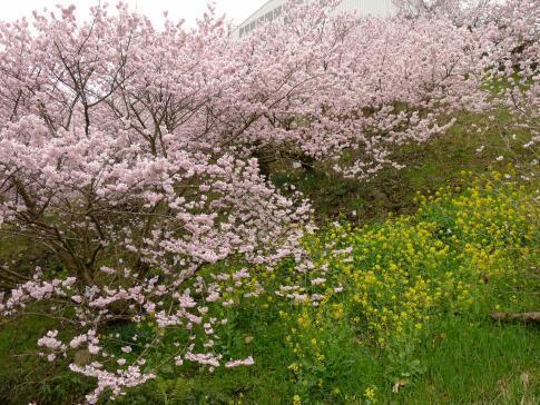 一の堰ハラネの春めき桜4.jpg