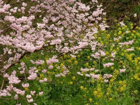一の堰ハラネの春めき桜5.jpg