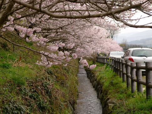 一の堰ハラネの春めき桜7.jpg