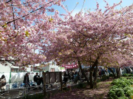 三浦の河津桜201102.jpg