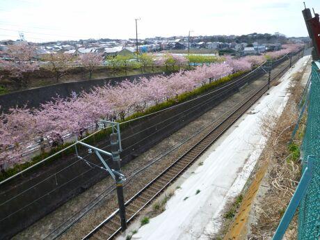 三浦の河津桜201103.jpg