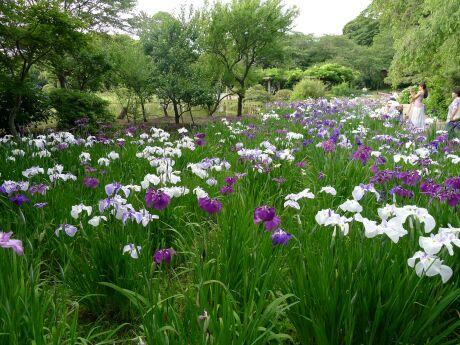三渓園の菖蒲2.jpg