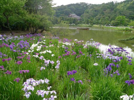 三渓園の菖蒲4.jpg