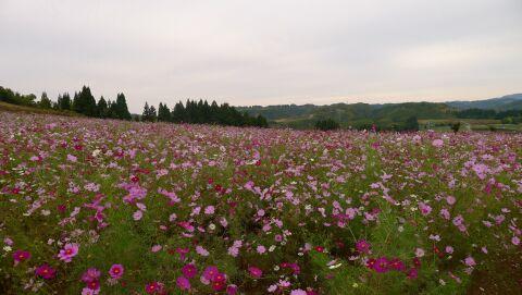 上原コスモス園4.jpg