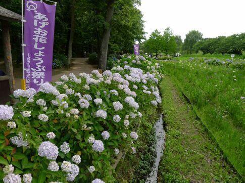 上尾丸山公園のあじさい2.jpg