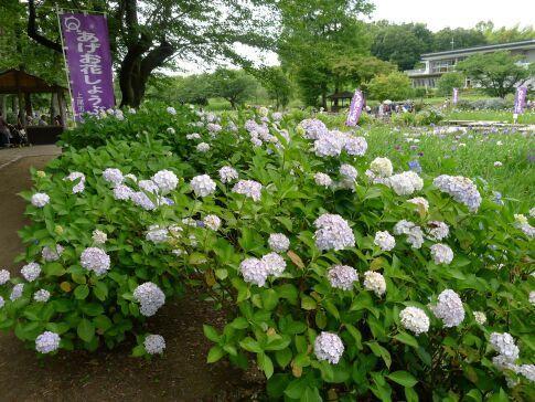 上尾丸山公園のあじさい1.jpg