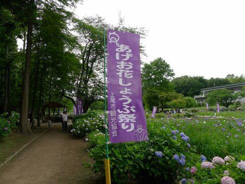 上尾丸山公園の菖蒲.jpg