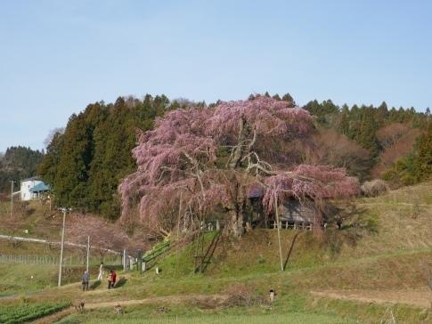 上石の不動桜2.jpg