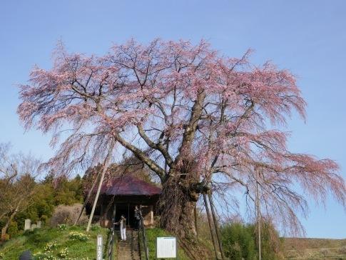 上石の不動桜3.jpg