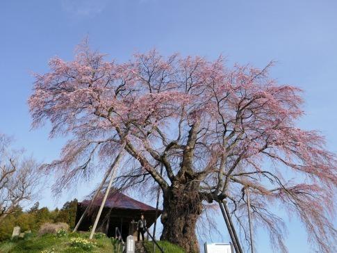 上石の不動桜4.jpg