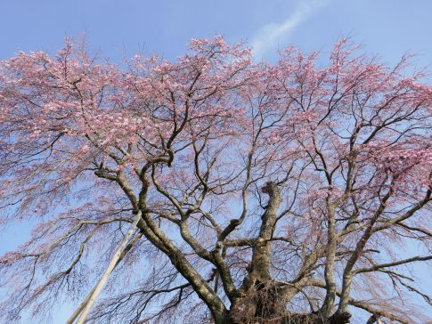 上石の不動桜5.jpg