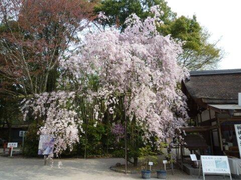 上賀茂神社 みあれ桜.jpg