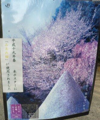 上賀茂神社 みあれ桜2.jpg