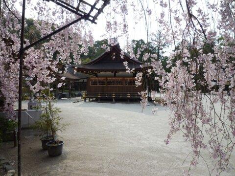 上賀茂神社 みあれ桜3.jpg
