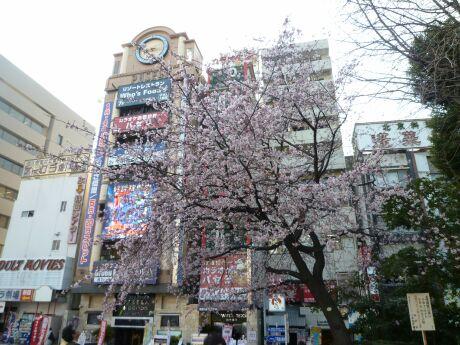 上野公園の寒桜2.jpg