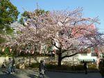 上野公園の寒桜 大.jpg