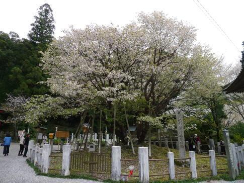 中将姫誓願桜2.jpg