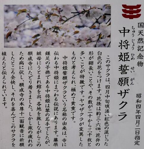 中将姫誓願桜5.jpg