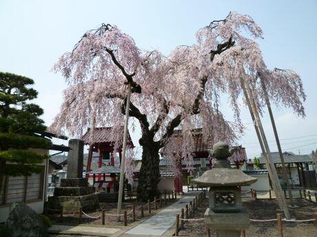 乙姫桜.jpg