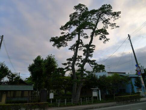 二木の松2.jpg