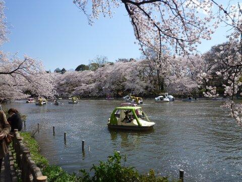 井の頭公園の桜2.jpg