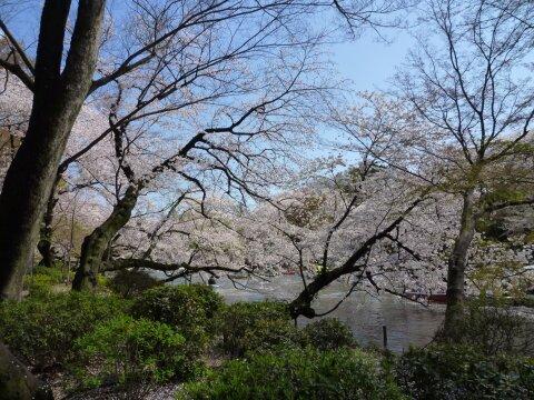 井の頭公園の桜3.jpg