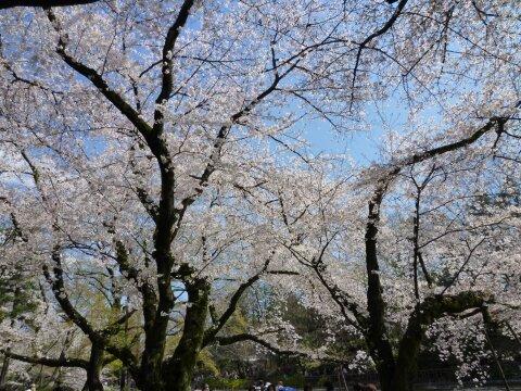 井の頭公園の桜4.jpg