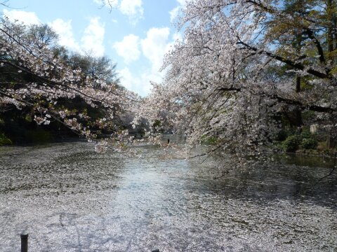 井の頭公園の桜5.jpg
