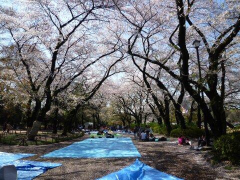 井の頭公園の桜6.jpg