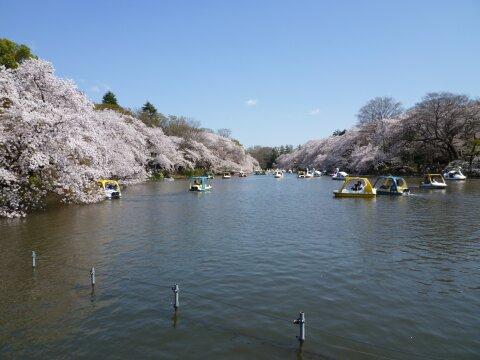 井の頭公園の桜7.jpg