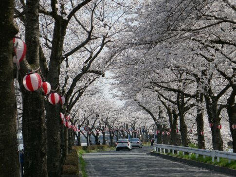 伊佐沼公園の桜4.jpg