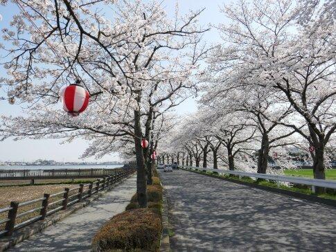 伊佐沼公園の桜2.jpg