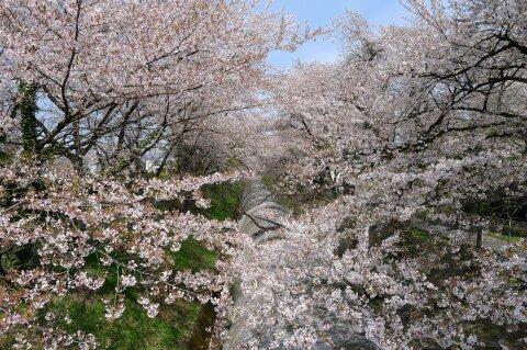 佐久発電所の桜2.jpg
