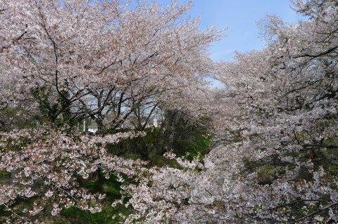 佐久発電所の桜3.jpg