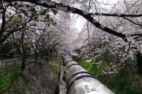 佐久発電所の桜4.jpg
