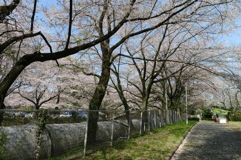 佐久発電所の桜5.jpg