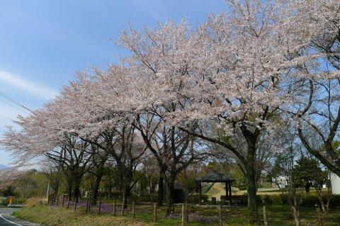 佐久発電所の桜1.jpg