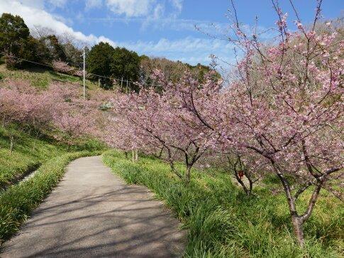 佐久間湖の河津桜4.jpg