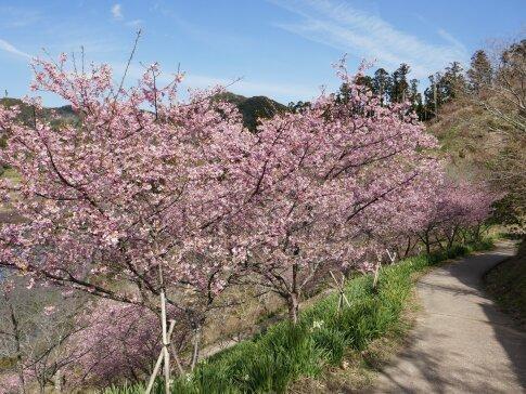 佐久間湖の河津桜7.jpg