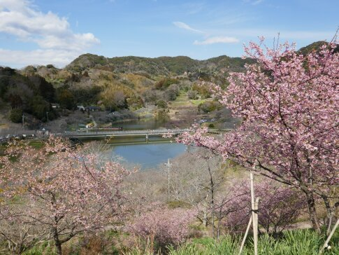 佐久間湖の河津桜8.jpg