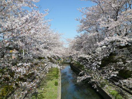 元荒川のさくら2.jpg