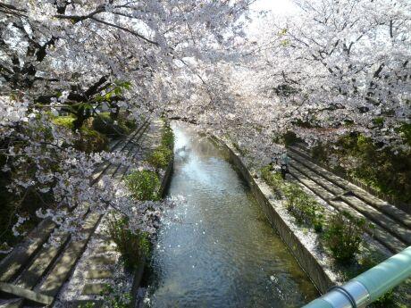 元荒川のさくら4.jpg