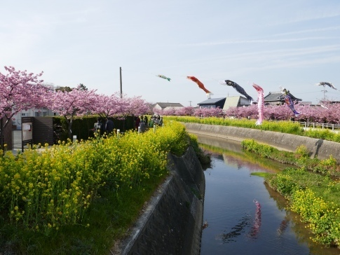 免々田川菜の花・桜まつり2.jpg