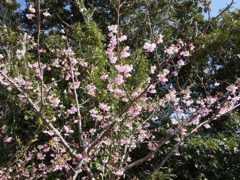 八丈島桜2.jpg
