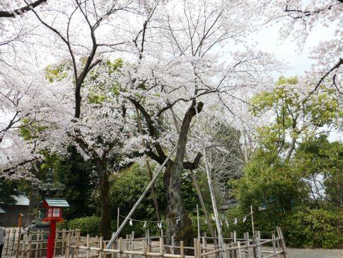 八幡太郎義家駒繋ぎの桜.jpg