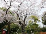 八幡太郎義家駒繋ぎの桜2.jpg
