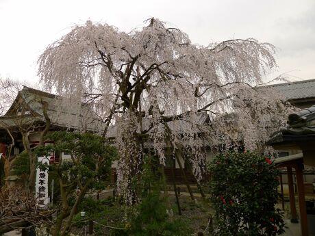 八王子 大光寺 枝垂れ桜2.jpg