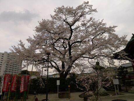八王子 大光寺 江戸彼岸桜.jpg